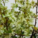 花木 庭木の苗/トキワマンサク:白花青葉6号ポット