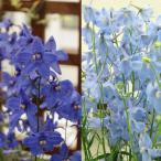 草花の苗/デルフィニウム:2種3.5号ポット2株セット