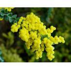花木 庭木の苗/アカシア:三角葉アカシア3〜3.5号ポット