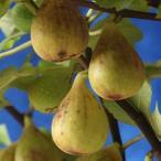 果樹の苗/イチジク:ジャンボイチジク4号ポット