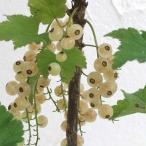 果樹の苗/カシス:白フサスグリ(ホワイトカーラント)5号ポット