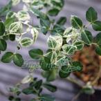 山野草の苗/アリドウシ(一両):斑入りアリドウシ3号ポット