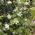 花木 庭木の苗/トキワマンサク:白花青葉3.5号ポット