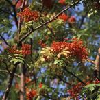 花木 庭木の苗/ナナカマド4.5号ポット