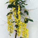 花木 庭木の苗/キングサリ4号ポット