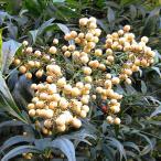 花木 庭木の苗/ナンテン(南天):白実5号ポット