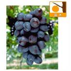 果樹の苗/ブドウ:オリエンタルスター接木苗4号ポット