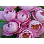 ショッピングバラ バラの苗/ハイブリッドティー:ブルドゥパルファム大苗6号鉢植え