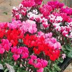 草花の苗/ガーデンシクラメン(ミニシクラメン):花色ミックス3号ポット3株セット