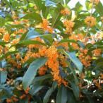 花木 庭木の苗/キンモクセイ(金木犀)単木樹高1.5〜1.6m根巻き