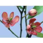 花木 庭木の苗/カラタネオガタマ:ポートワイン3.5号ポット