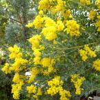 花木 庭木の苗/アカシア:三角葉(サンカクバ)アカシア5号ポット