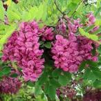 花木 庭木の苗/ニセアカシア(ロビニア):カスケードルージュ7号ポット