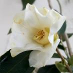 しろわびすけ 11〜3月咲き・茶花好適品種 秋から咲く彩りつばき