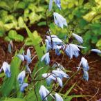 球根/シラン(紫ラン):ブルーシラン裸苗袋詰め