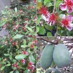 花木 庭木の苗/フェイジョア:マリアン6号ポット