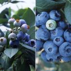果樹の苗/群馬県産品種ブルーベリー:あまつぶ星とおおつぶ星2種4株セット3号ポット