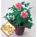 花木 庭木の苗/予約 お正月咲牡丹(ボタン):1鉢2輪咲き鉢植え