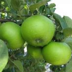 果樹の苗/リンゴ:ブラムリー(クッキングアップル)5号ポット