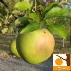 果樹の苗/リンゴ:グラニースミス(クッキングアップル)5号ポット