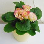 草花の苗/プリムラ:プリンアラモード3号ポット