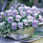 草花の苗/ビオラ:ビビ ヘブンリーブルー3〜3.5号ポット 24株セット