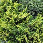 花木 庭木の苗/コニファー(這性):プロクンベンス オーレア5号ポット5株セット