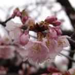 花木 庭木の苗/桜:熱海寒桜(アタミカンザクラ)接木苗5号ポット