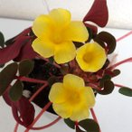 草花の苗/オキザリス:名月のめぐみ3.5号ポット2株セット