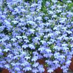 草花の苗/ロベリア:アズーロコンパクトスカイブルー3.5号ポット2株セット