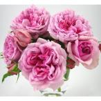 バラの苗/デルバールローズ:ローズ・ポンパドゥール(ポンパドール)大苗長尺7号角鉢植え