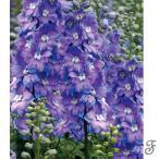 草花の苗/デルフィニウム:モ-ニングライト3〜3.5号ポット2株セット