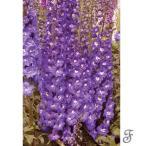 草花の苗/デルフィニウム:パープルパッション3〜3.5号ポット2株セット