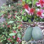 花木 庭木の苗/フェイジョア:クーリッジ株立ち樹高1.2m根巻き