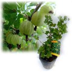 果樹の苗/グーズベリー(すぐり)4〜5号ポット