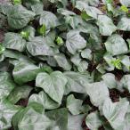 草花の苗/ヘデラ:カナリエンシス(オカメヅタ)緑葉3.5号ポット