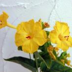 草花の苗/2段咲きオシロイバナ:微笑みがえしイエロー3号ポット