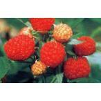 果樹の苗/木いちご(キイチゴ):ラズベリー サマーフェスティバル4号ポット