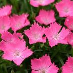 草花の苗/ナデシコ:花はなライトサーモン3号ポット2株セット