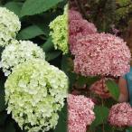 花木 庭木の苗/アジサイ:アナベル2種セット(白花・ピンク花)
