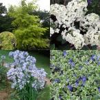 花木 庭木の苗/人気の花木セット:ニセアカシア・フリーシアと柏葉アジサイ