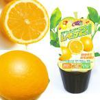 果樹の苗/早成りレモン:レモン21 3号ポット