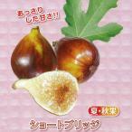 果樹の苗/甘〜いミニイチジク:ショートブリッジ3号ポット
