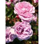 バラの苗/つるバラ:レイニーブルー大苗