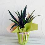 観葉植物/ギフトに 万年青 (おもと):都の城5.5号鉢植え ラッピング付き