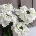 草花の苗/バーベナ:エンプレス ホワイト3.5号ポット