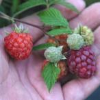果樹の苗/トゲなしラズベリー:グレンモイ5号ポット