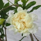 花木 庭木の苗/花ザクロ:水晶(スイショウ)4号ポット