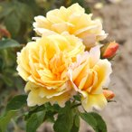 バラの苗/デルバールローズ:ソレイユ・ヴァルティカル大苗長尺7号角鉢植え