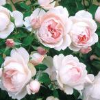 バラの苗/棚卸セール デルバールローズ:マダム・フィガロ3年株6号角鉢植え